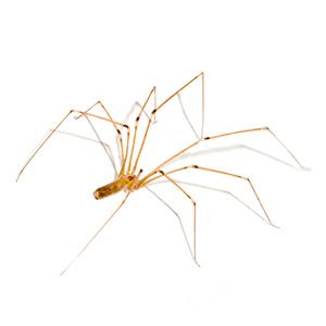 Photo of a Cellar Spider