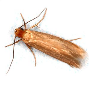 Photo of a Cloth Moth