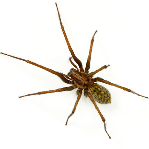 Photo of a Funnel Web Spider