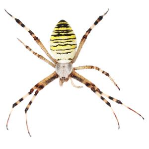 Photo of a Garden Spider