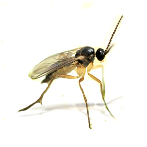 Photo of a Gnat
