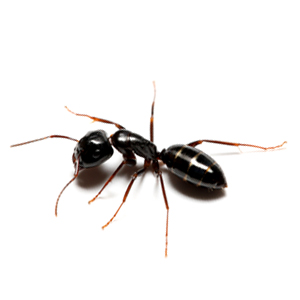Photo of an Odor Ant