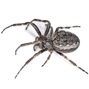 Photo of an Orb Weaver Spider
