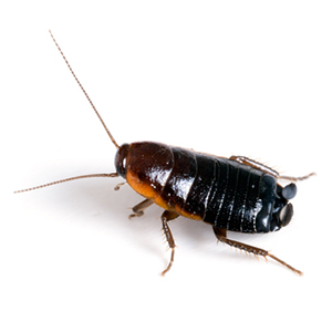 Photo of an Oriental Cockroach