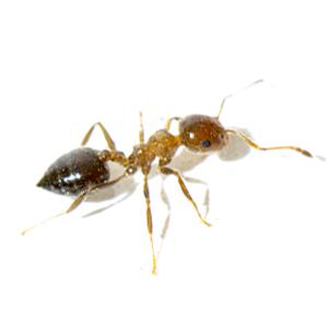 Photo of a Pharoah Ant
