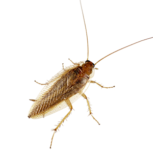 Photo of a Wood Roach