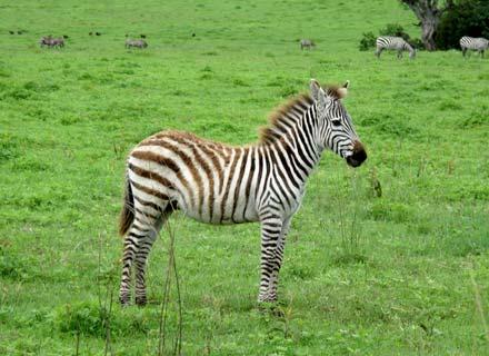 Zebra no safári