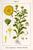 Calendulaflower w illo