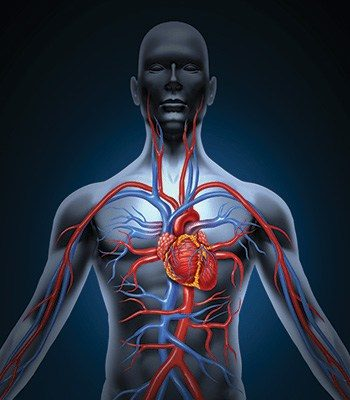 cardio body blood vessels