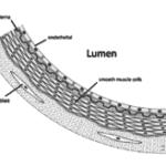artery anatomy