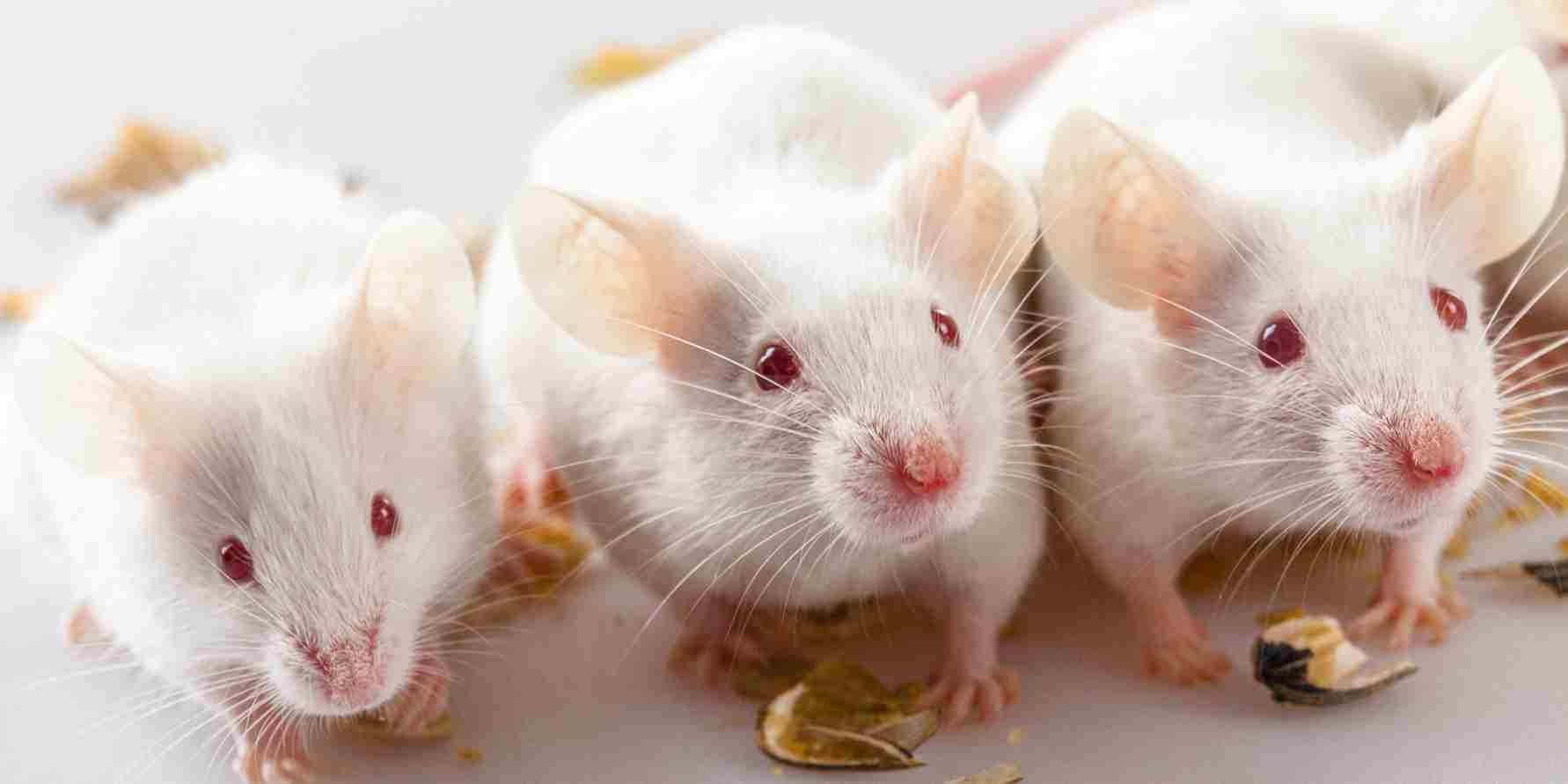 Three old mice, see how they run