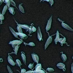 A live parasite vaccine for deadly leishmaniasis