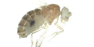 Genetic studies of rare undiagnosed diseases take flight with model organisms