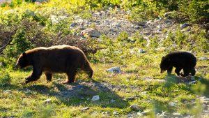 Bear Viewing Tours Whistler
