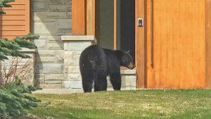Bears in Whistler