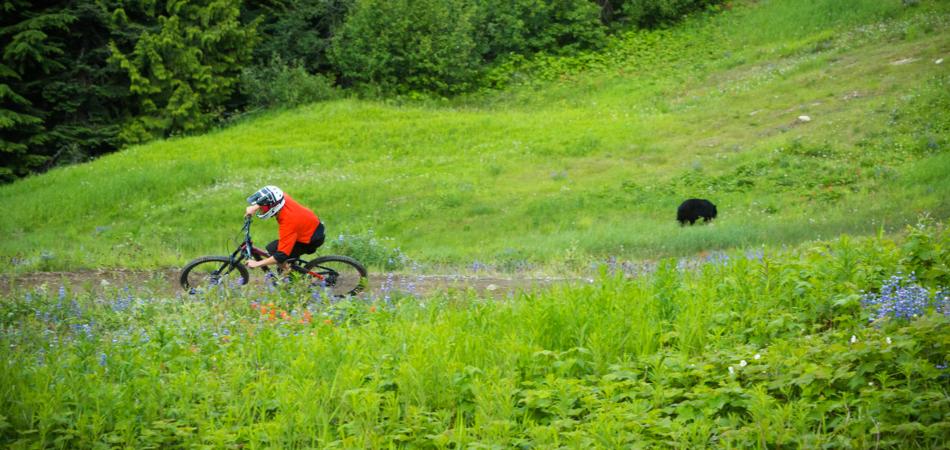 Black Bear in Whistler Bike Park