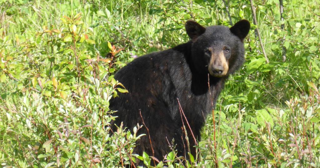 Whistler Black Bear