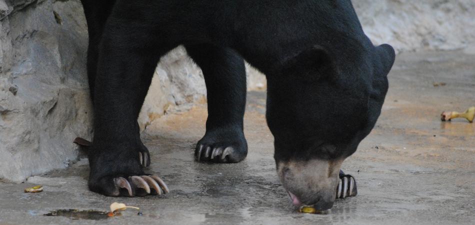 Whistler black bear eating
