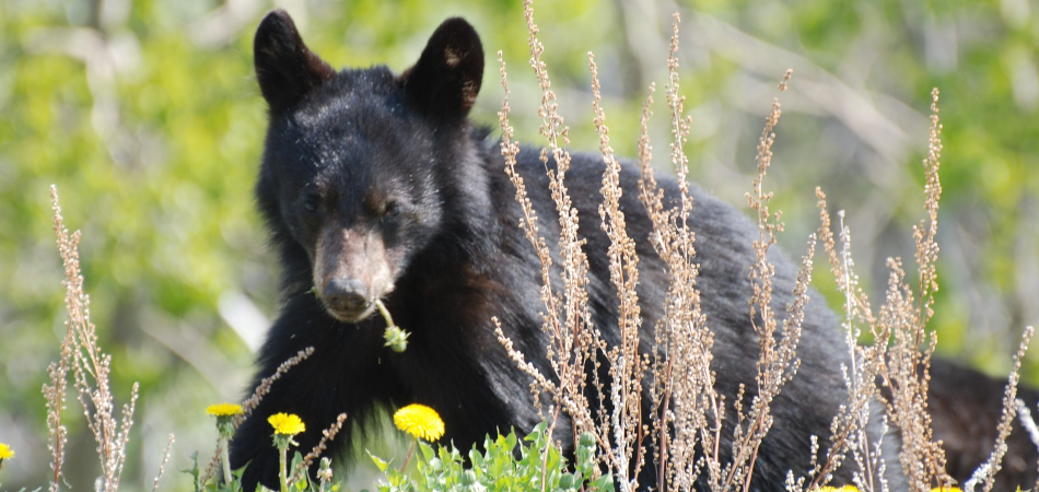 Young black bear in Whistler