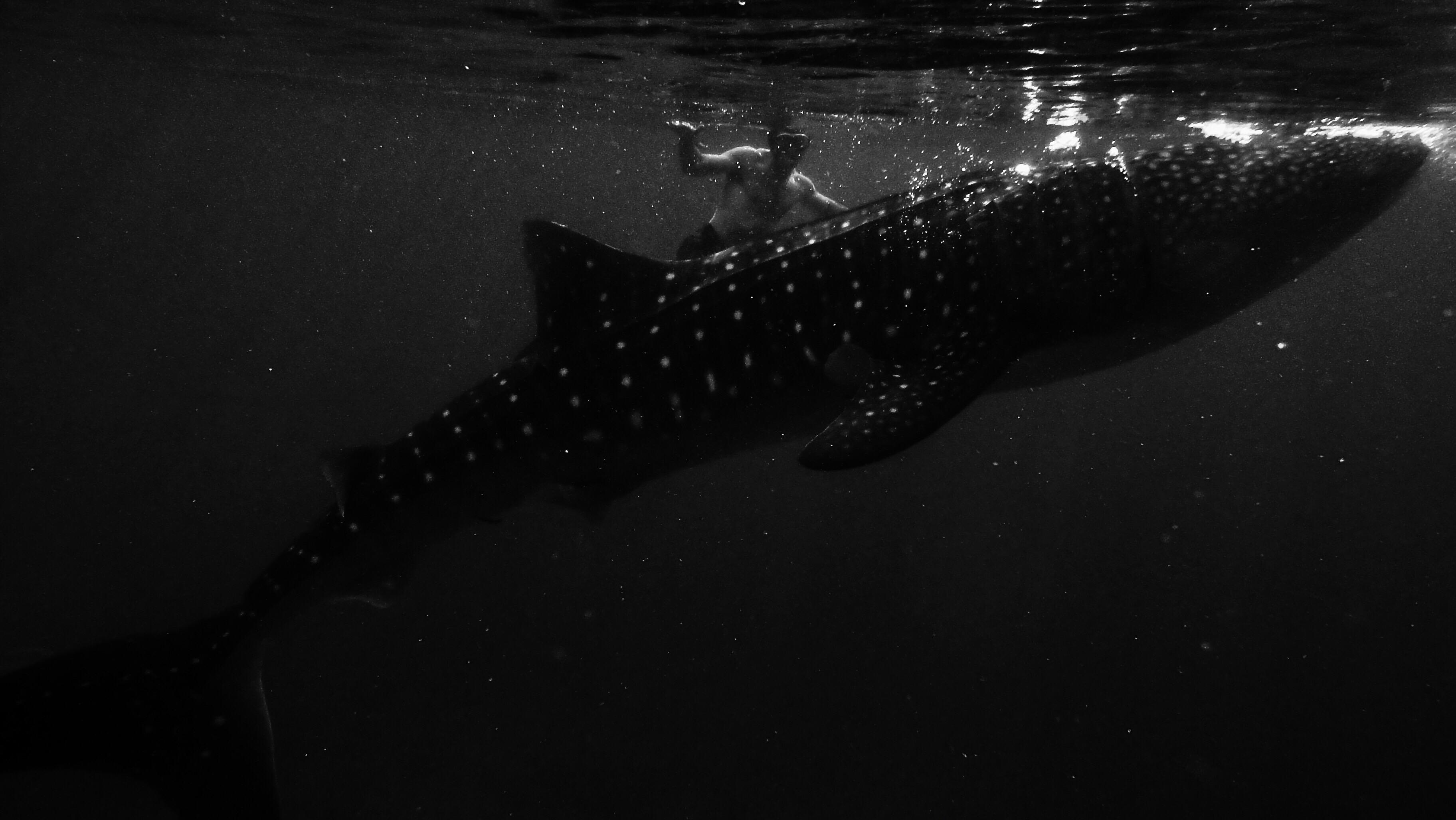 whale-sharks_t20_d1wwjb 2