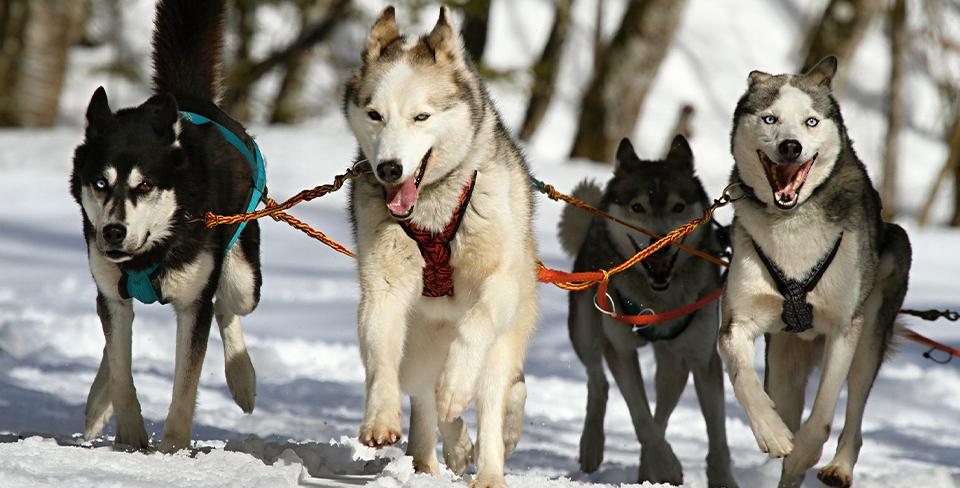 Blog-Full-Width-Dog-Sledding-Snow-Winter