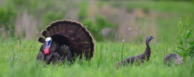 Wild turkeys in the grass