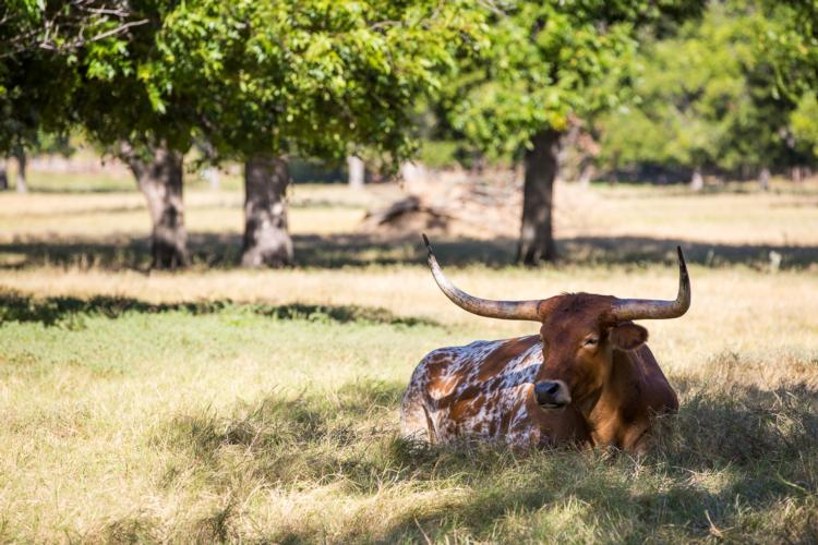 A longhorn laying down in the grass.
