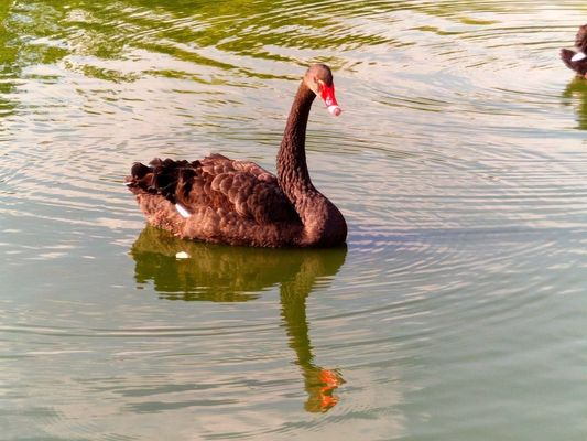 Swan 3. portrait, nature, water, animals, zoo, swan, photos, tiger, picture, ilobsterit. buy photo