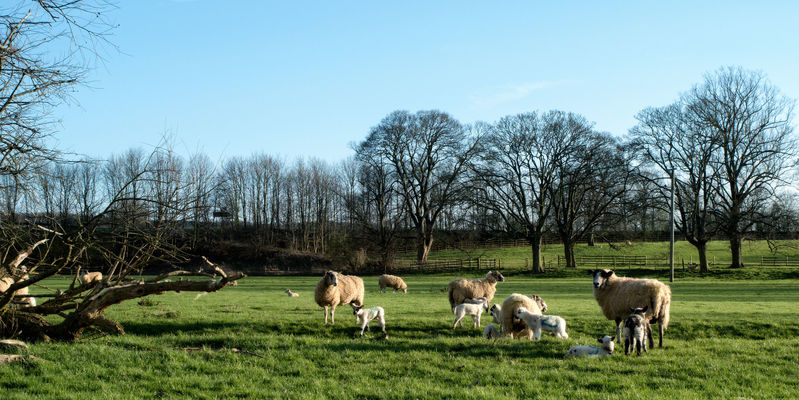 a group of cows grazing in a field. nature, sheep, lambs, manualfocus, pentaxk01, smcpentax28mmf35. buy photo