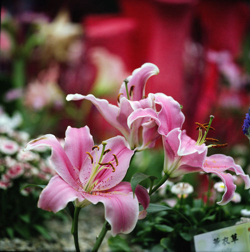 stanely-2689 002. flower, nature, rolleiflex, hongkong, spring, marco, sl66, fujipro400h, ilobsterit. buy photo
