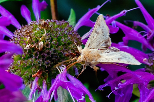 Moth on a flower. macro, insect, moth. buy photo
