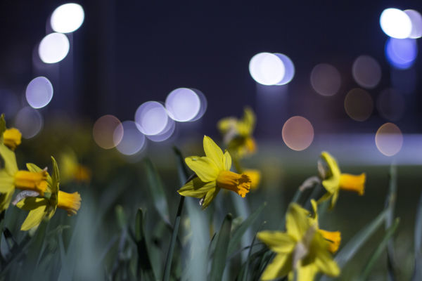 a vase with a flower in it sitting on a table. street, flower, night, canon, bokeh, daffodil, 50mmf18, 550d. buy photo
