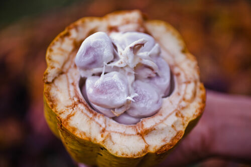 Cacao Fruit | Nicaragua. latinamerica, america, canon, chocolate, 5d, nicaragua, canon5d, managua, choco, ngo, centralamerica, chocolade, cacao, beyondborders, snv, cacaoplant, canon5dmarkii, 5dmark, cacaoplantation, beyondbordersmedia, beyondbordersutrecht, snvworld, ngoproject. buy photo