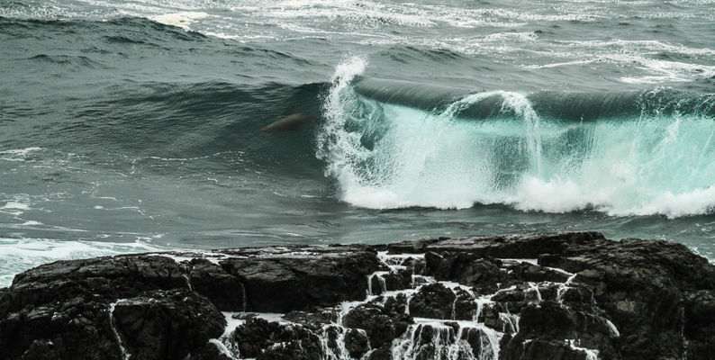 stormy weekend at Ucluelet, too stormy for us to see the whales, but we saw this sealion surfing the waves…amazing to watch. buy photo