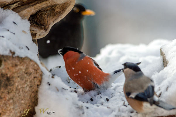 little of everything. winter, snow, bird, ice, sweden, jämtland, geert, chaffinch, fringilla, coelebs, weggen, jã¤mtland, hardeko. buy photo