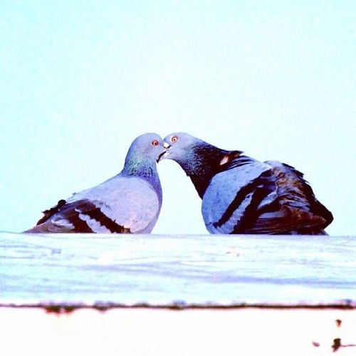 #Pigeons #Love #Photography #Hussainsagar #Hyderabad. square, squareformat, hudson, iphoneography. buy photo
