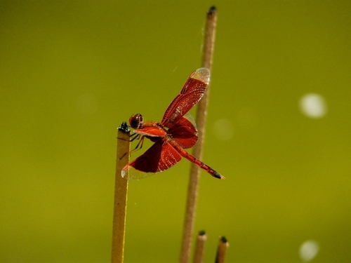 Dragonfly. coth5. buy photo