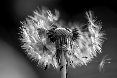 Transformer Day 2 in BW II. macro, art, nature, virginia, unitedstates, fineart, natur, dandelion, makro, virginiabeach, loewenzahn, lipoma, kunstwelt, photosophie, giesea, lipom, crowdmedia, drachenfanger, ilobsterit, andreasmgiesea, darchenfanger. buy photo