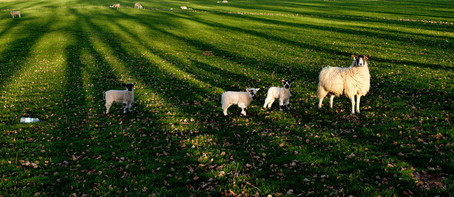 a herd of sheep standing on top of a lush green field. nature, sheep, lambs, manualfocus, pentaxk01, smcpentax28mmf35. buy photo