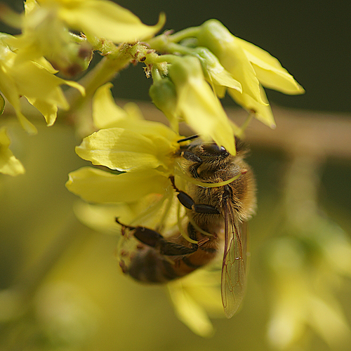Busy bee. naturethroughthelens. buy photo