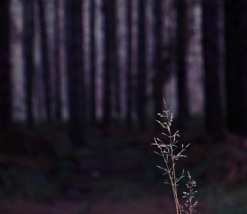 At the Edge of the Woods. woodland, alone, delicate, fragile, nottinghamshire, singular, fragility, lilaclight, robinhoodway, recedinglight, ilobsterit, darknessinthewoods, asinglestrandofgrass, darktrunks. buy photo