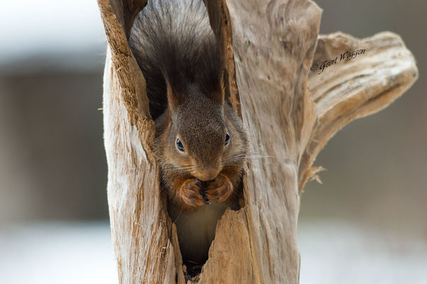a feeling of home. winter, snow, ice, animal, mammal, squirrel, sweden, jämtland, geert, weggen, jã¤mtland, hardeko. buy photo