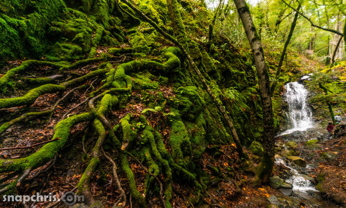 moss covered roots  reach out from Waterfall. california, water, forest, waterfall, timelapse, spring, redwood, slowwater, snapchris. buy photo