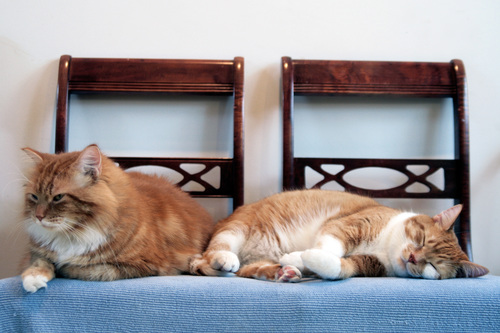 two cats are sitting on a couch. toby, orange, cats, cat, chair, orangecat, chairs, tabby, kitty, kitties, fiddy, gingercat. buy photo