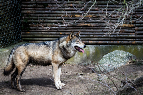 Copenhagen Zoo. colors, canon, out, denmark, photography, eos, zoo, photo, wolf, colorful, day, foto, watching, l, oo, danmark, københavn, valby, copenhage, köpenhamn, zoologisk, eos7d. buy photo