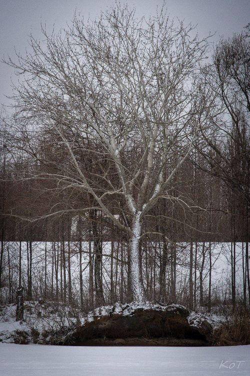 a large tree is in the middle of a forest. buy photo