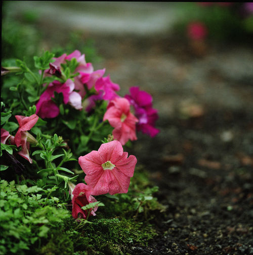 stanely-2689 005. flower, nature, rolleiflex, hongkong, spring, marco, sl66, fujipro400h, ilobsterit. buy photo