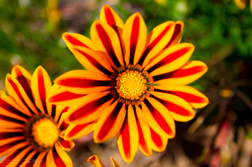 Roadside Daisies. flowers, flower, gardens, daisies, garden, sandiego, gardening, orangeflower, daisy, orangeflowers, ilobsterit, dougsooley. buy photo