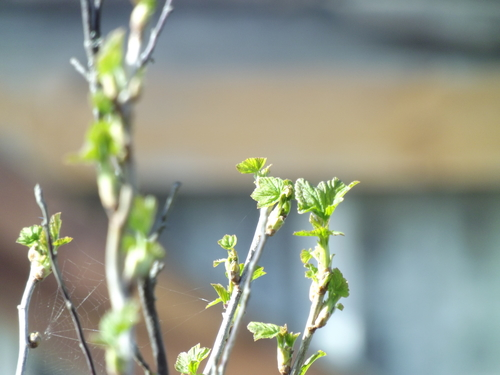 currant leaves. buy photo