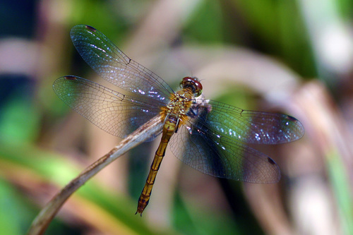 Dragonfly. macro, insect, dragonfly. buy photo